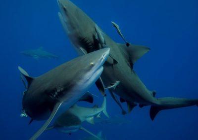 Au nom du requin