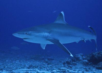 Histoire de requins
