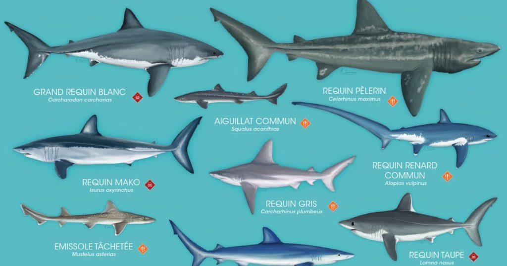 Poster les requins de Méditerranée - Ocean academy