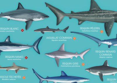 Poster : les requins de Méditerranée à protéger