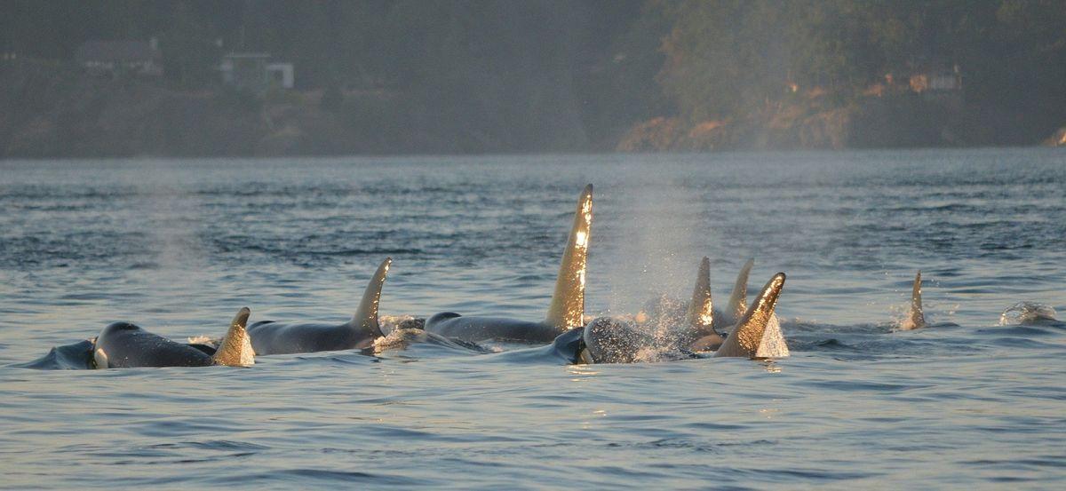 groupe d'orques avec ailerons visibles