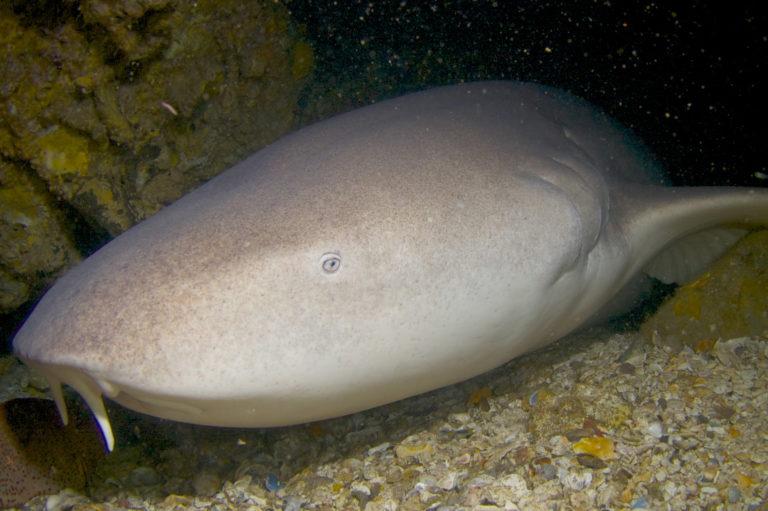 requin nourrice