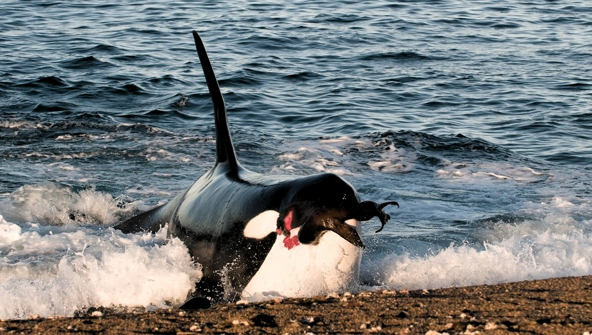 orque avec phoque