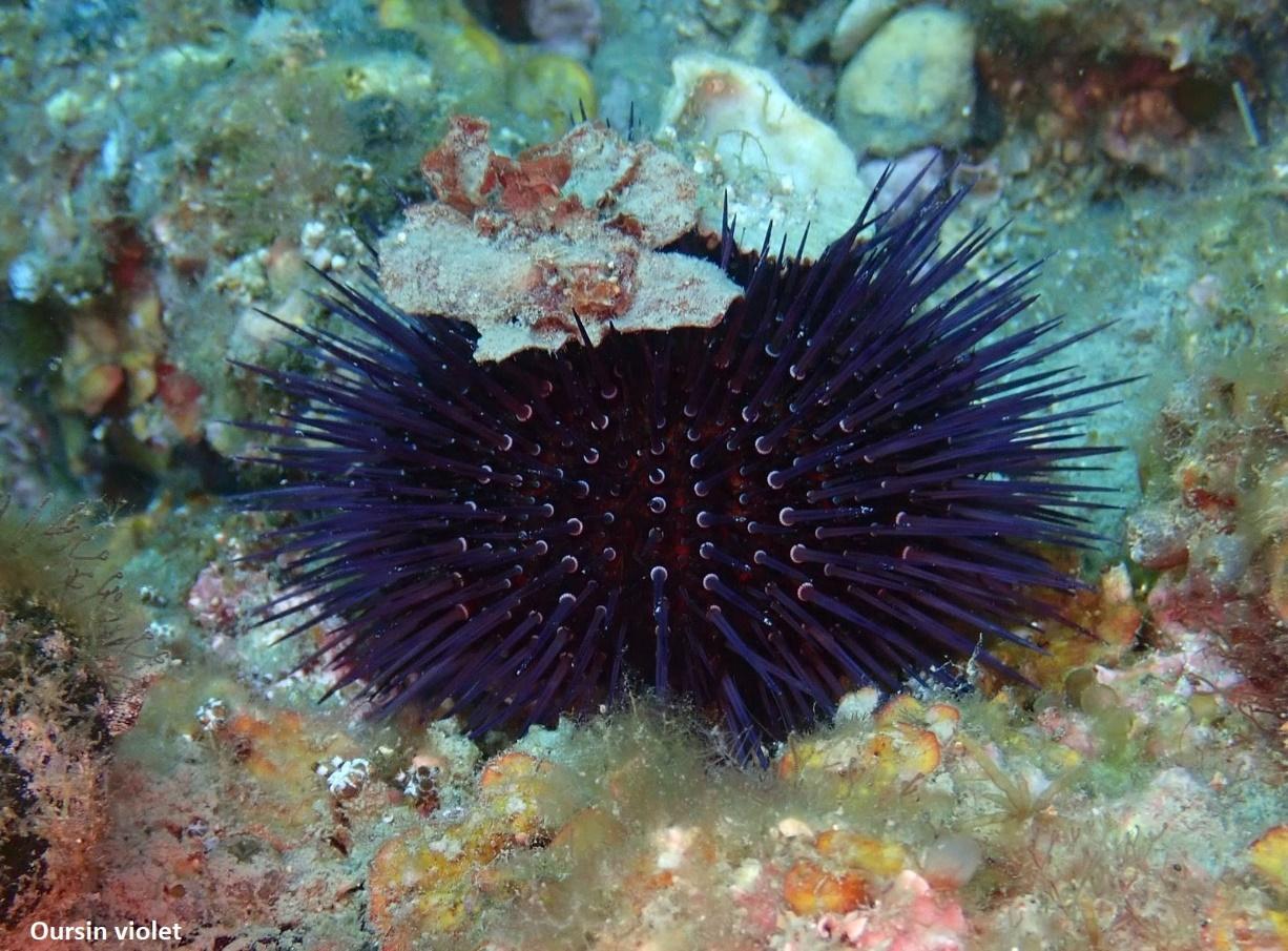 oursin violet